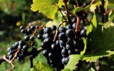 Weines des Anbaugebiets Fiefs Vendéens mit AOC